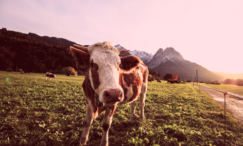 soñar con vacas