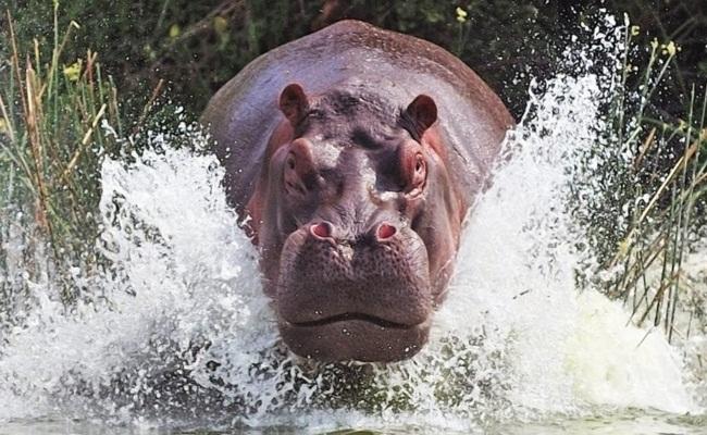soñar con hipopótamos