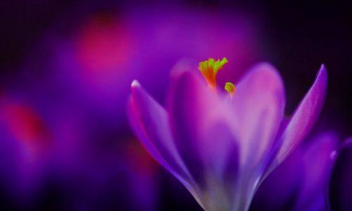 soñar con violetas